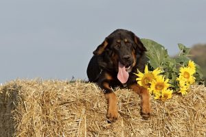 dog_straw_package_sunflower_summer_mastiffs_agriculture_pet_supplies-499462.jpg!d